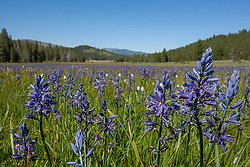 """Camas Lilies at Sagehen Meadows 1"" - These camas lily flowers were photographed at Sagehen Meadows, near Stampede Reservoir, Truckee."