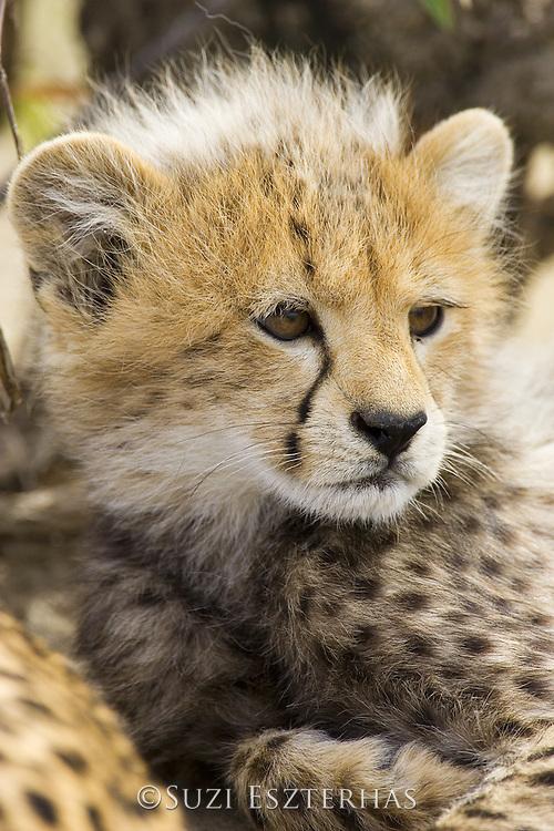Cheetah<br /> Acinonyx jubatus<br /> 10-12 week old cub (s)<br /> Maasai Mara Reserve, Kenya