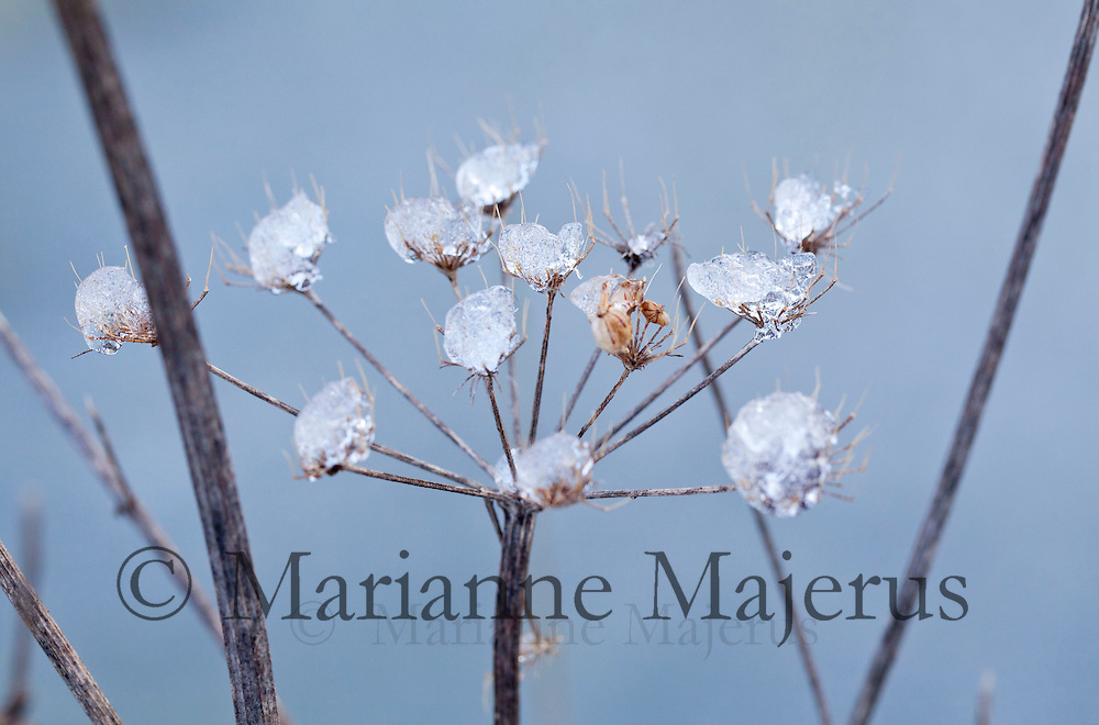 Ice on Cow parsley