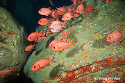 bigscale soldierfish, blotcheye soldierfish, or u'u, Myripristis berndti, resting inside lava tube cavern, Lehua Rock, off Niihau, near Kauai, Hawaii, Hawaiian Islands, USA ( Central Pacific Ocean )