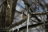 Tufted titmouse (Baeolophus bicolor) perches on ice-coated branch in aftermath of spring ice storm; Kirkwood, Missouri.