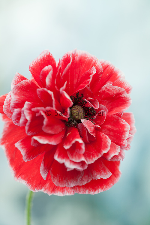 Papaver rhoeas 'Double Choice' - Shirley poppy