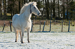 © Licensed to London News Pictures. 17/01/2019. Hundred House, in Powys, Wales, UK. A white horse stands in a wintry landscape near Hundred House in Powys, Wales, UK. Temperatures dropped to around minus 1.5 degrees centigrade, and snow fell on high ground in Powys, Wales, UK. credit: Graham M. Lawrence/LNP