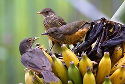 O sabiá-laranjeira (Turdus rufiventris), também conhecido como sabiá amarelo, tornou-se em 2002 a ave-símbolo do Brasil (já era ave-símbolo do estado de São Paulo desde 22 de setembro de 1966) por sua imensa popularidade no país, citada por diversos poetas como o pássaro que canta na estação do amor ou seja, primavera. FOTO: Jefferson Bernardes/Preview.com