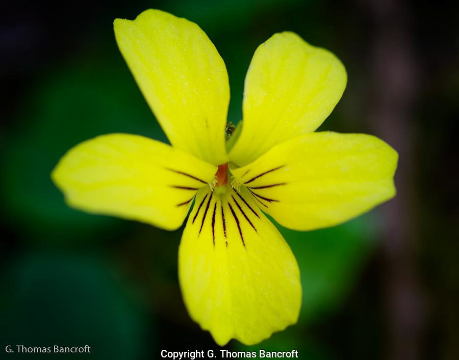 The Yellow Violets were blooming along the trail into Boulder Creek Wilderness.  In several places they carpeted the ground.