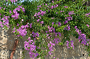 Pink flowers of a Bougainvillea bush close up