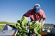 28 NOVEMBER 2006 - SAN LUIS, AZ:  Farm workers harvest lettuce in fields northeast of Yuma, AZ. Farmers and agricultural producers around Yuma, AZ, are facing a growing shortage of farm workers. Increased border enforcement have deterred many illegal workers from seeking work in Arizona and long lines at the ports of entry for legal workers are leading to the labor shortage. Some labor contractors are reporting as much as a 40 percent shortage of farm workers, Yuma farmers planted 15 percent fewer acres this year, compared to last, because of the shortage. More than 100,000 acres of iceberg lettuce are cultivated in Yuma county and more than 50,000 people are employed as seasonal farm workers at the height of the harvest, which is December through February. Nearly 3,500 seasonal farm workers stand in line for up to two hours every morning at the San Luis, AZ, Port of Entry to enter the US legally to work in the fields. Experienced workers can make as much as $14 (US) per hour during the harvest.  PHOTO BY JACK KURTZ