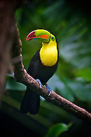 The Keel-billed Toucan (Ramphastos sulfuratus), also known as Sulfur-breasted Toucan, Rainbow-billed Toucan, The Keel-billed Toucan can be found from Southern Mexico to Venezuela and Colombia. It roosts in the canopies of tropical, subtropical, and lowland rainforests, up to altitudes of 1,900 m.  Like many toucans, Keel-billed is a very social bird, rarely seen alone. It travels in small flocks of approximately six to thirty individuals through lowland rainforests; it is a poor flyer, and moves mostly by hopping through trees. Image by Andres Morya
