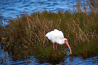 White Ibis Feeding on a Small Marsh Grass and Mangrove Island. Black Point Wildlife Drive in Merritt Island National Wildlife Refuge. Image taken with a Nikon D3s and 400 mm f/2.8 lens (ISO 200, 400 mm, f/5.6, 1/800 sec).