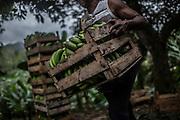 Quilombolas manage a banana plantation on the Ivaporunduva quilombo (former runaway slave communal land) in Eldorado, south of Sao Paulo, Brazil, Wednesday, Nov. 28, 2018. (Dado Galdieri)