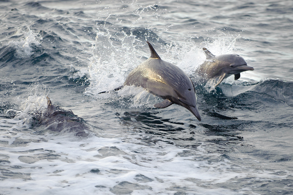 An adult and a young Common Dolphin surf the waves in the Gulf of California, Mexico