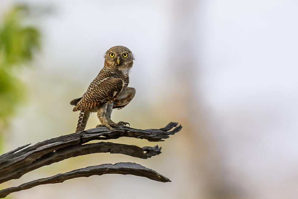 Sperlingskauz im Bandhavgarh Nationalpark in Indien