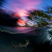 A lemon shark pup swims off into the sunset.