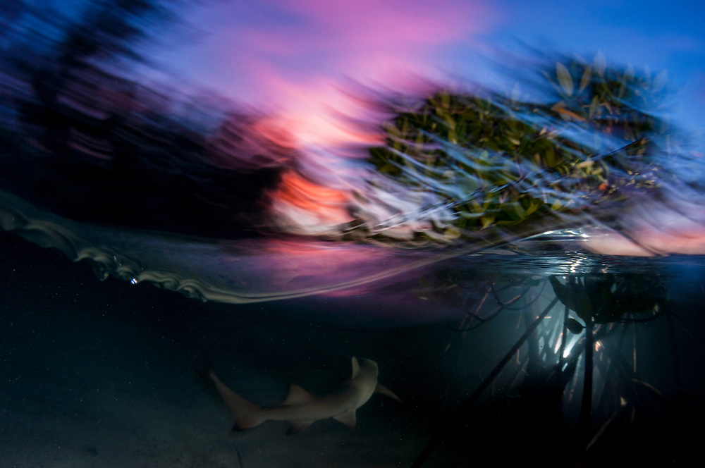 A lemon shark pup swims off into the sunset.