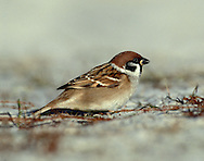 Tree Sparrow Passer montanus L 13-14cm. Well-marked bird, rural counterpart of House Sparrow. Forms flocks outside breeding season and may feed with buntings and finches in fields. Sexes are similar. Adult has chestnut cap and striking black patch on otherwise whitish cheeks and side of head; note black bib. Underparts are otherwise greyish white. Back and wings are streaked brown; note white wingbars. Juvenile is similar but duller. Voice Utters chirps and sharp tik-tik in flight. Status Scarce and declining resident of untidy arable farms and rural villages. A tree-hole nester nad has benefited from provision of nest boxes.