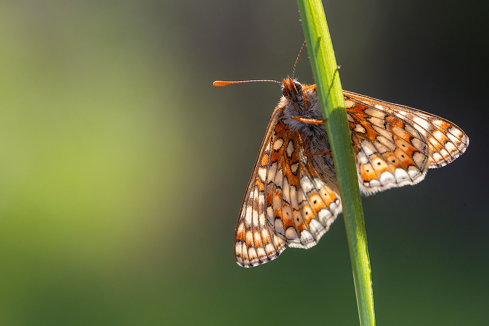 Single Marsh Fritillary (Euphydryas aurinia) basking on blade of grass, Three Groves Wood, Gloucestershire, May, 2011.