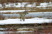 Coyote (Canis lantrans), near Cave and Basin, Banff, Banff National Park, Alberta, Canada   Photo: Peter Llewellyn