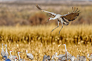 sandhill crane (Grus canadensis) flaring in for a landing