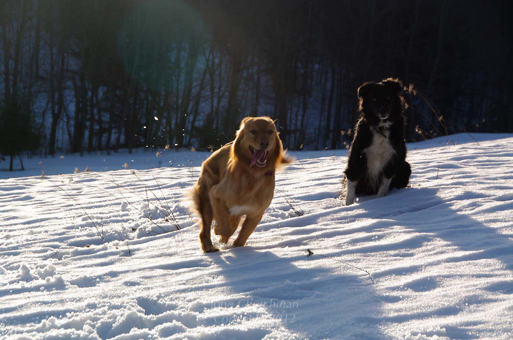 dogs, playing, winter, VT