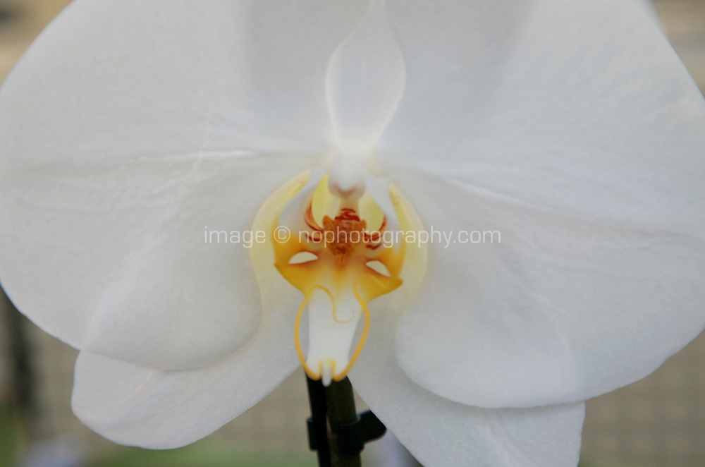 Close up of white  Orchid plant flowers. Photography by Doreen Kennedy