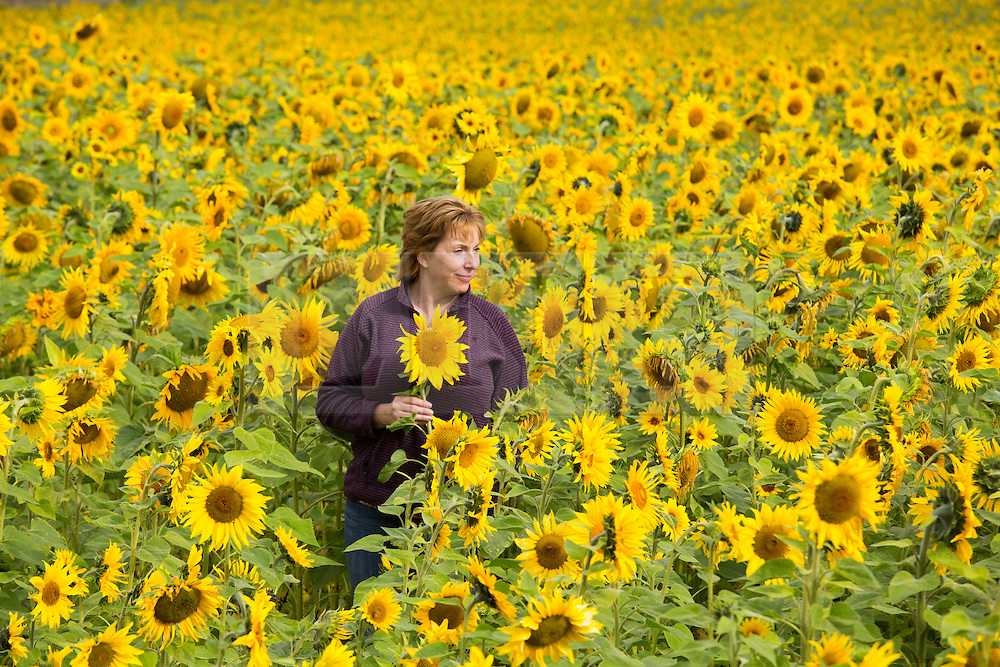 © Licensed to London News Pictures. 15/09/2014. Shenton, Leicestershire, UK. A huge field of sunflowers in Shenton, Leicestershire flourish after the warm unseasonal weather leaves them bursting with life. The sunflowers will be left to dry then harvested as Autumn draws near. Pictured, Maria Davies whose house is nearby walks through the field of yellow. Photo credit : Dave Warren/LNP