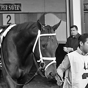 28 November 2009: Super Saver in the paddock before the G2 Kentucky Jockey Club Stakes at Churchill Downs in Louisville, Kentucky.