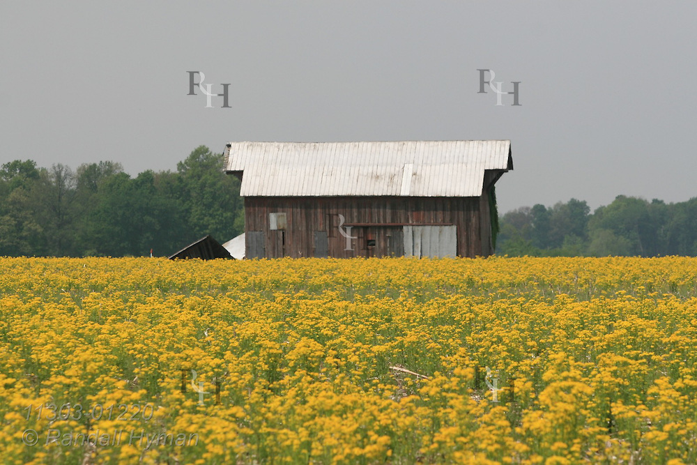 Golden mustard weed fills field around old red barn in May; West Union, Illinois.