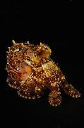 Coconut octopus (Amphioctopus marginatus), photographed in Lembeh Strait, Indonesia.