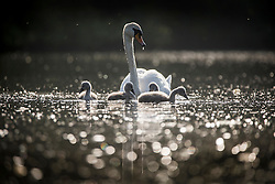 © Licensed to London News Pictures. 06/06/2016. Leeds UK. A swan & her Cygnet's enjoy the warm weather this morning at Golden Acre park in Leeds on another beautiful day in Yorkshire. Photo credit: Andrew McCaren/LNP