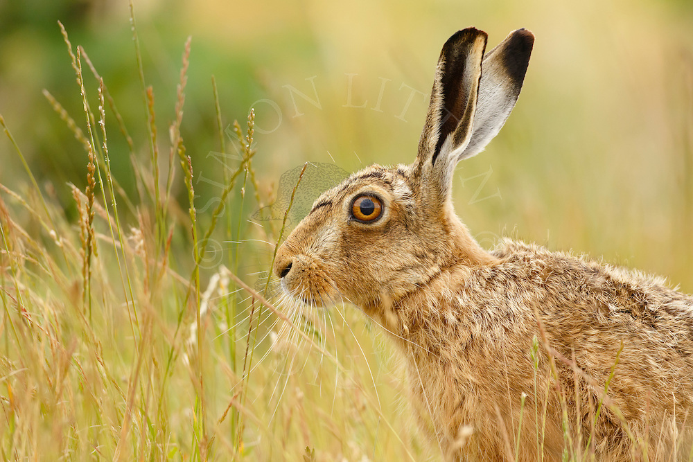 European Hare (Lepus europaeus) adult in margin alongside farmland track, South Norfolk, UK. July.