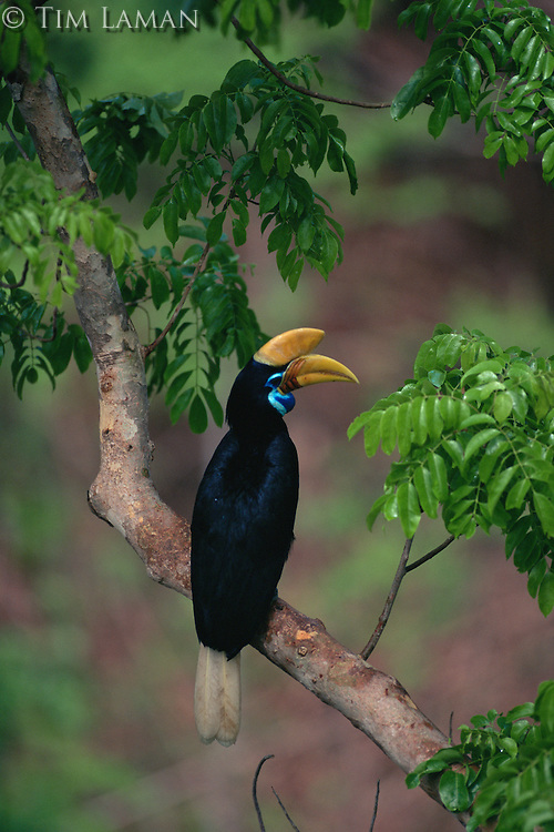 Female Knobbed Hornbill (Aceros cassidix) in a tree..Tangkoko Batuangus/Dua Saudara Nature Reserve, Sulawesi Island, Indonesia.