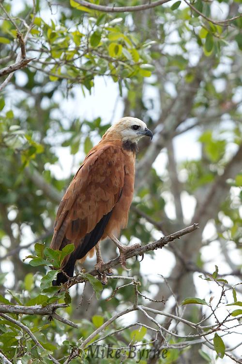 Black-collared Hawk (Busarellus nigricollis) perched on a post near Araras Eco Lodge (Pantanal, Mato Grosso, Brazil)