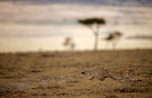 Cheetah, (Acinonyx jubatus) Adult in pursuit of prey across plains of Masai Mara Game Reserve. Kenya. Africa.