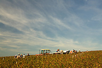 Domaine du Vissoux, Beaujolais<br /> <br /> Polish and Turkish workers, and some locals, do the harvest<br /> <br /> <br />  September 16, 2007<br /> <br /> Photo by Owen Franken for the NY Times
