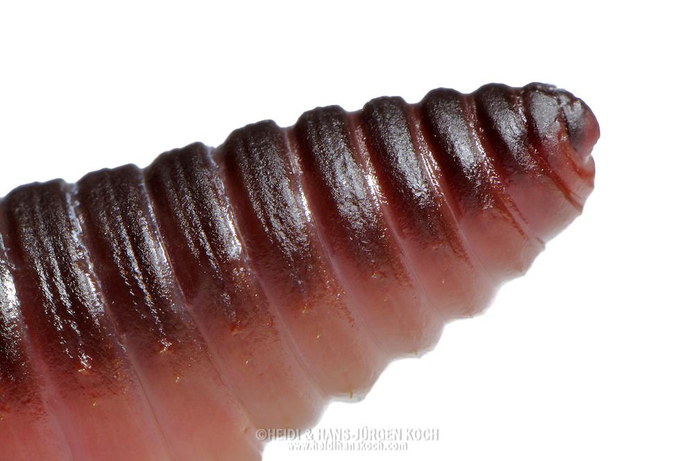 Common earthworm, Nightcrawler, Lumbricus terrestris, front end, head region.Gemeiner Regenwurm, Tauwurm, Lumbricus terrestris; Vorderende, Kopfregion