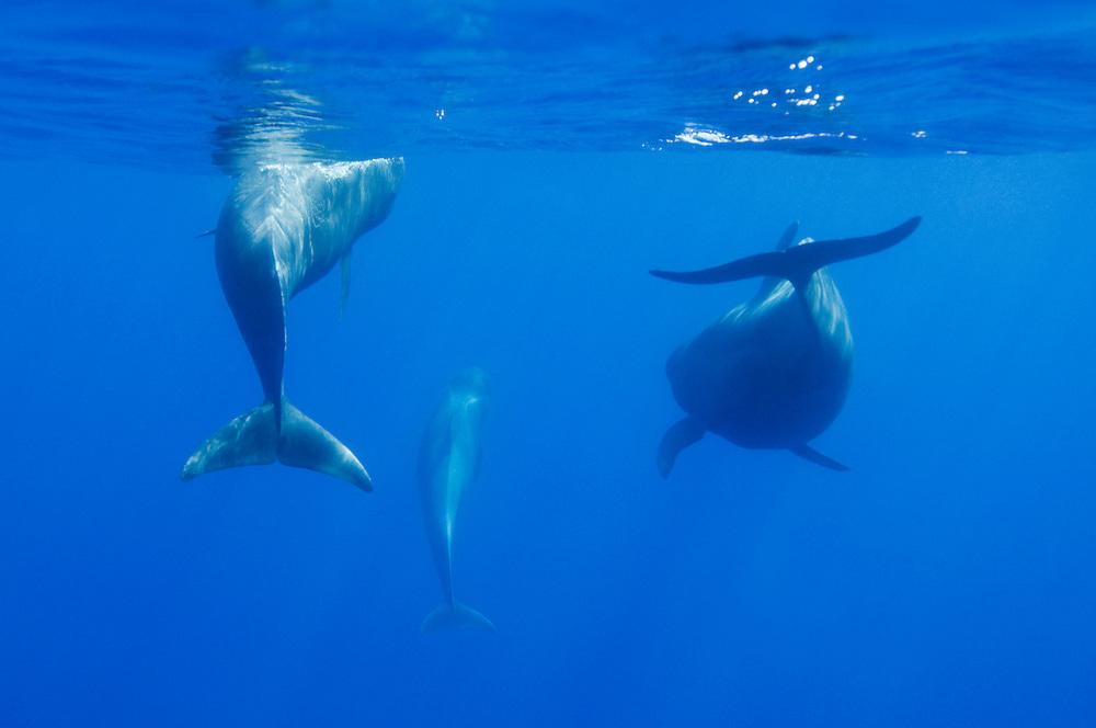 Short-finned pilot whale/s, Globicephala macrorhynchus, Pico, Azores, Portugal