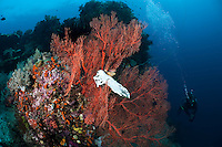 The strong currents in the Misool area create perfect conditions for filter feeders such as sea whips, sponges and fans and many of the dive sites have huge fields of fans and whips.  The reefs of Raja Ampat are some of the most diverse and healthiest in the world.