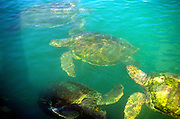 Turtle farm, Grand Cayman, Cayman islands, British West Indies,