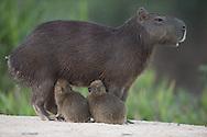 Adult and juvenile Capybara (Hydrochoerus hydrochaeris), Pantanal, Brazil