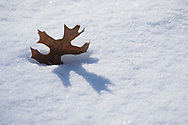 A Northern Pin Oak leaf (Quercus ellipsoidalis) caught in a track casts a shadow on clean snow.