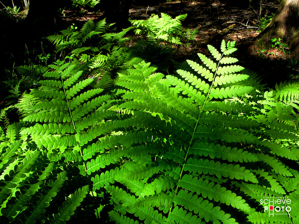 Ferns in the Chequamegon National Forest.