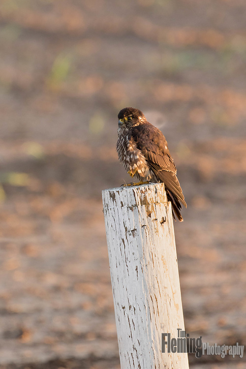 A merlin on post near Moss Landing, California