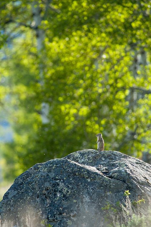 Uinta Ground Squirrel, Grand Teton NP, Wyoming