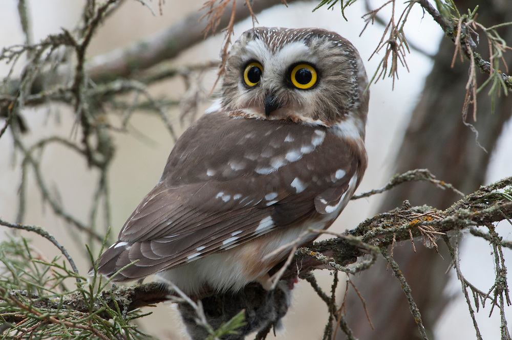 A northern saw-whet owl (Aegolius acadicus), Missoula, Montana
