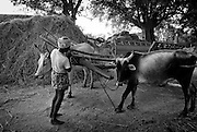 Bullock cart and farmer at work after a January rice harvest.