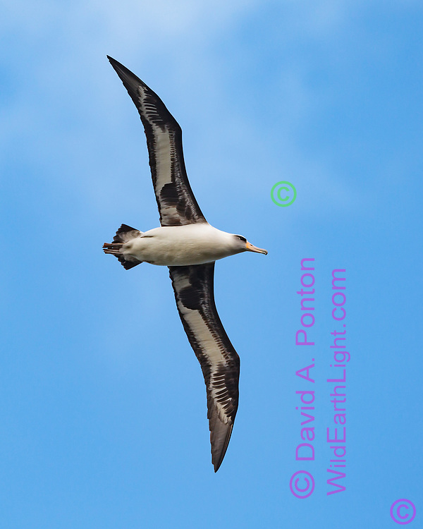 Laysan albatross (Diomedea immutabilis) in flight, long narrow wings adapted for soaring, Kauai, Hawaii, © 2010 David A. Ponton
