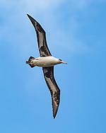 Laysan albatross (Diomedea immutabilis) in flight, long narrow wings adapted for soaring, Kauai, Hawaii, © 2010 David A. Ponton