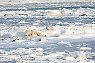 01874-12208 Polar Bear (Ursus maritimus) mother and cub rolling in snow near Hudson Bay  in Churchill Wildlife Management Area, Churchill, MB Canada