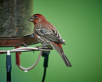 House Finch. Image taken with a Nikon D5 camera and 600 mm f/4 VR lens (ISO 1600, 600 mm, f/5.6, 1/200 sec).
