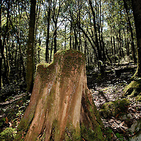 Tree stump in forest of Sierra Gorda, Mexico